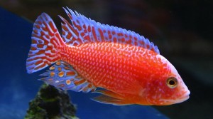 Aulonocara Fire Fish (Aulonocara SP. Fire Fish)