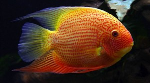 Falso Disco Blanco (Heros Severum)
