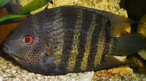 Falso Disco Verde (Heros Severum)