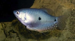 Gurami Azul (Trichogaster Microlepis)