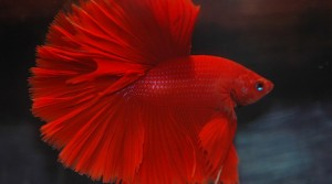 Betta Rojo Medialuna, (Betta Red Half Moon)
